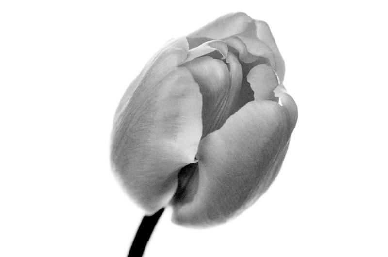 一重咲きのチューリップ