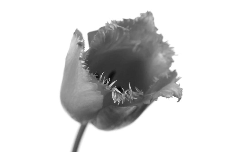 フリンジ咲き