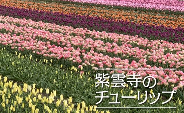 紫雲寺のチューリップたち