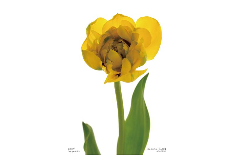 Yellow Pompenette-03